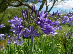 Garden Tour and English Tea, May 11 at St. Philip's, Scotts Valley